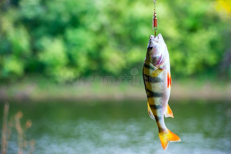 River perch on the hook stock photos