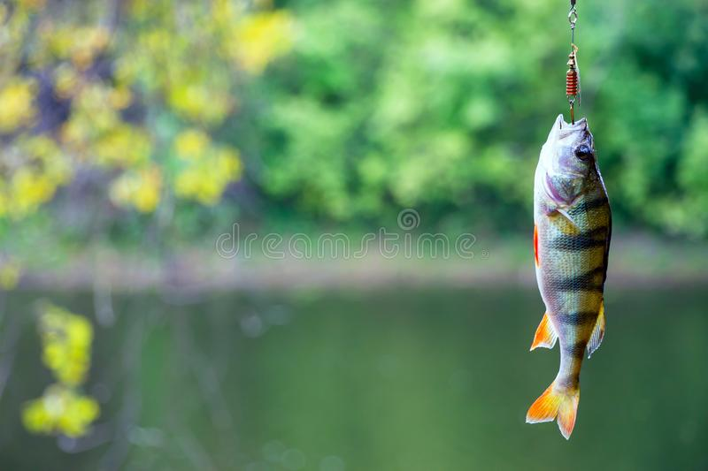 River perch on the hook royalty free stock image