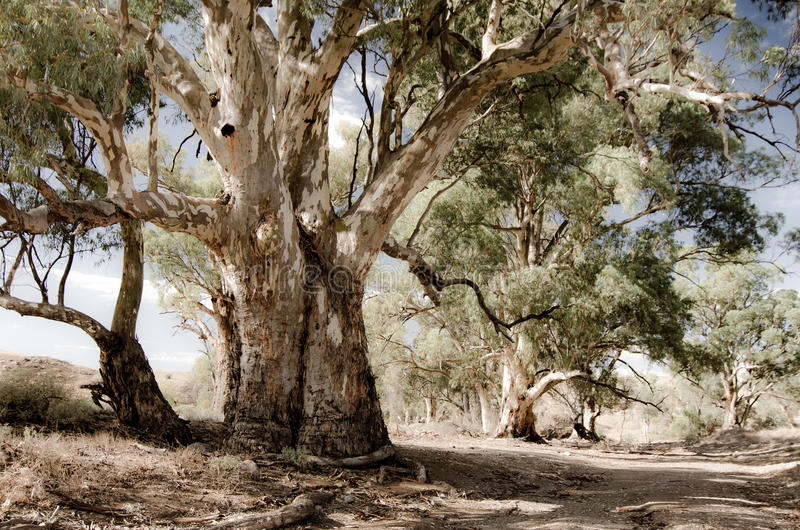 River Red gums (Eucalyptus camaldulensis) along the Heysen trail in the Flinders Ranges, South Australia stock images