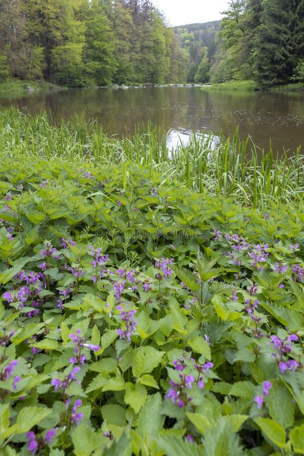River Sazava near Smrcna, Czech Republic. Nature, water, forest, landscape, green, natural, tree, travel, stream, background, outdoor, view, scenery, stone stock image