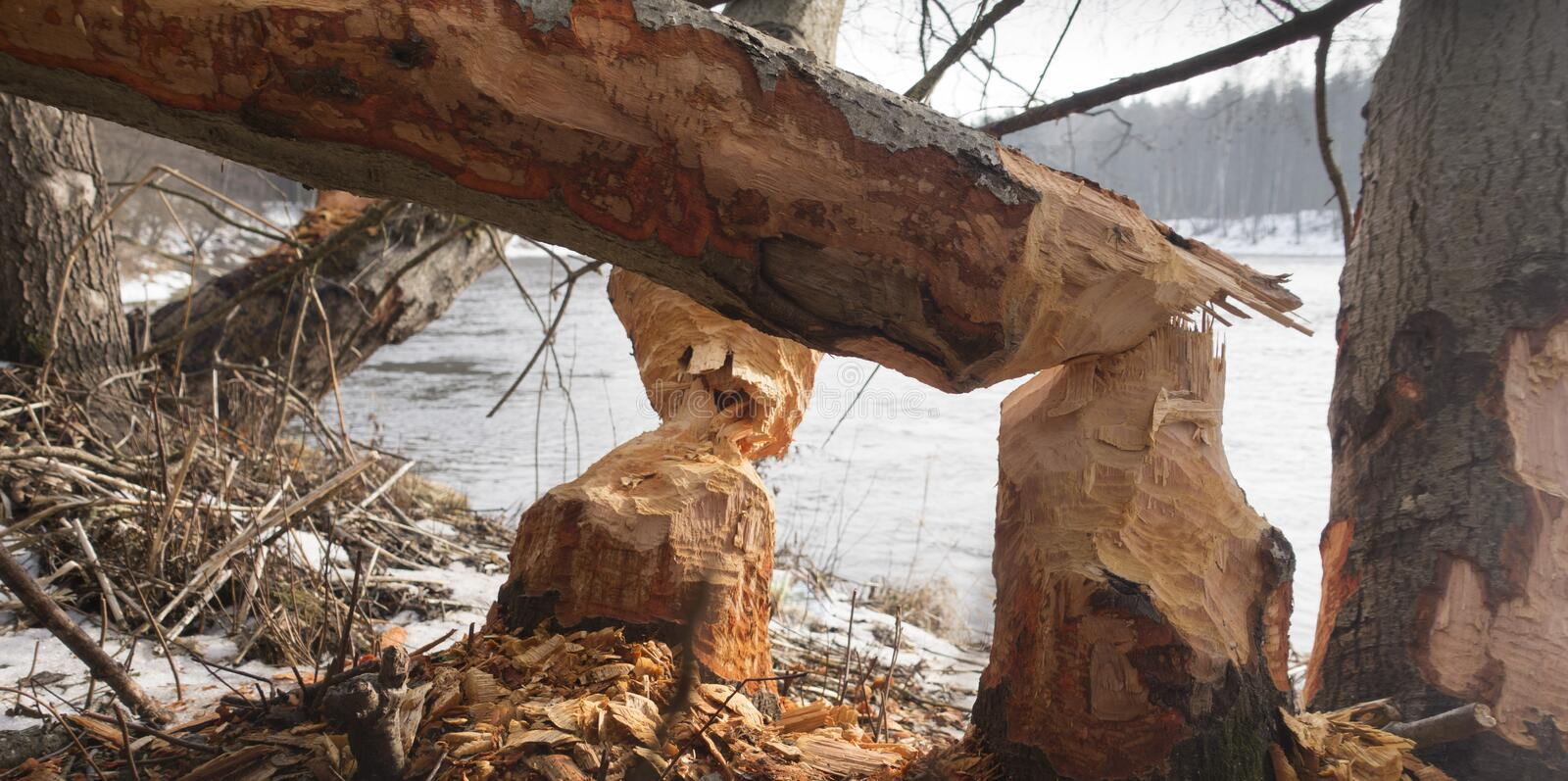 River side beaver wood cut. Winter day trees chips water stock photo