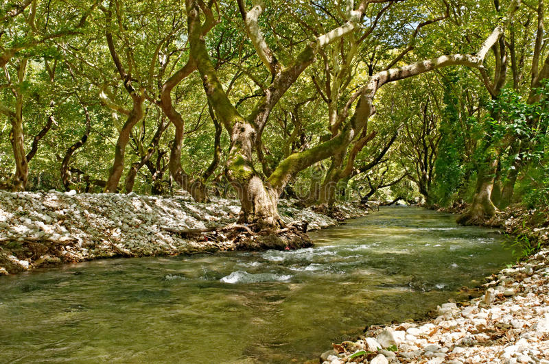 River And Sycamore Trees Royalty Free Stock Photo