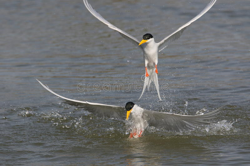 River tern bird. Two friend take fun into the water of river. bird colour are so beautiful, head colour are black, leg are orange, pecker are yellow. body royalty free stock photo