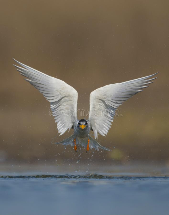 The River tern stock images