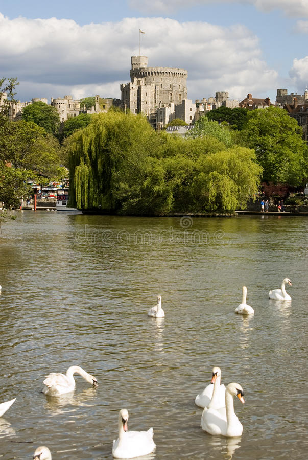 River Thames at Windsor. View of mute swans, latin name Cygnus olor, on the River Thames at Windsor, Berkshire royalty free stock photography