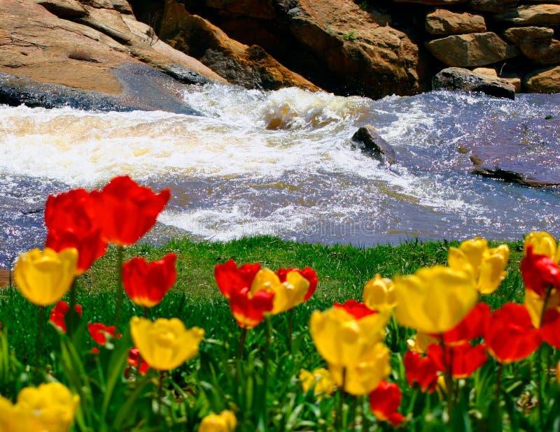 River Tulips stock photo