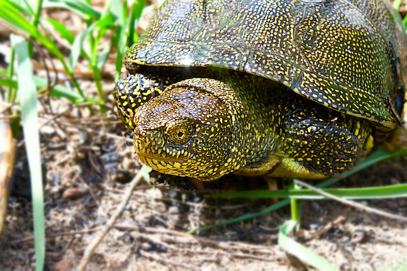 Download River turtle stock image. Image of slider, brown, pinery - 23921441