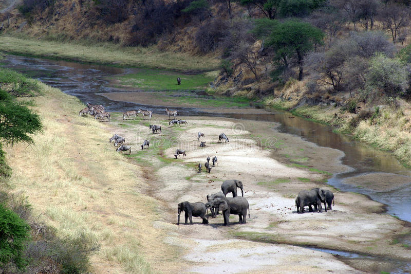 On the riverbank. Elephants, zebras and wildebeest on the riverbank, Tarangire NP Tanzania in the late afternoon royalty free stock images