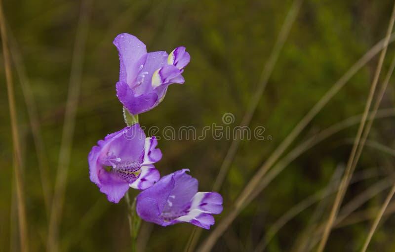 Riversdale Bell Gladiolus rogersii stock images