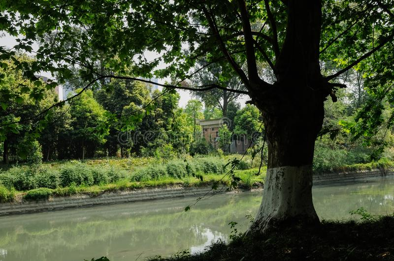 Riverside aged tree in verdant city of sunny spring royalty free stock photo
