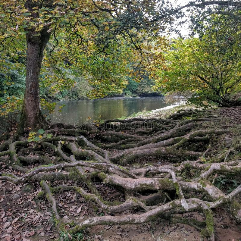 Riverside tree roots royalty free stock images