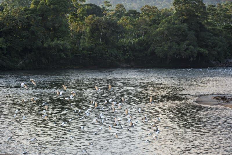 Rivière amazonienne de Misahualli de forêt tropicale l'equateur images libres de droits