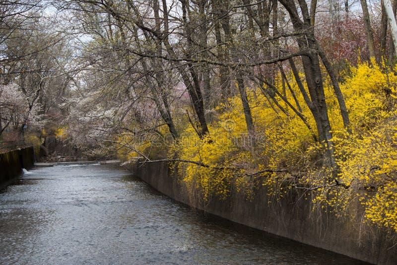 Rivière au printemps avec le forsythia photos libres de droits