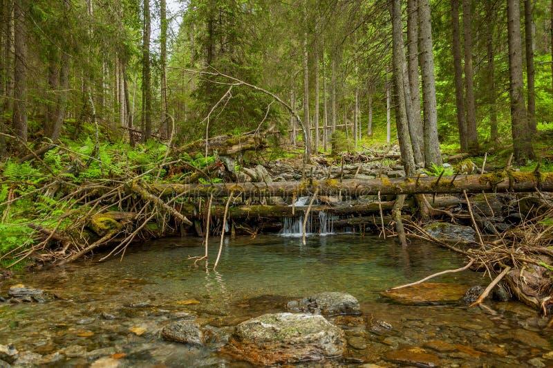 Rivière de montagne avec une petite cascade dans la forêt de pin image libre de droits