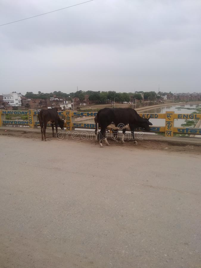 Rivière de Varanasi Varuna et vache arrière photographie stock libre de droits