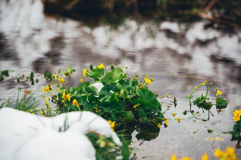 Rivier die door de lente bos Gele wildflowers vloeien in sneeuw stock afbeelding