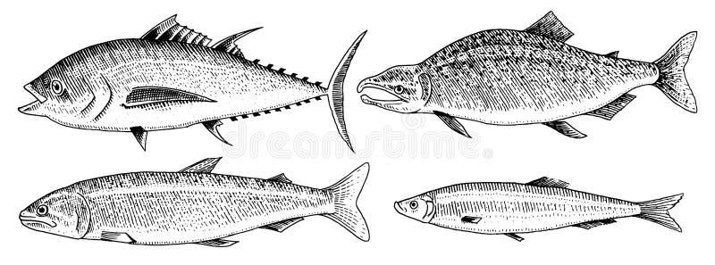Rivier en meervissen Zalm en regenboogforel, tonijn en haringen, zeewater en zoetwaterkarper Zoetwateraquarium vector illustratie