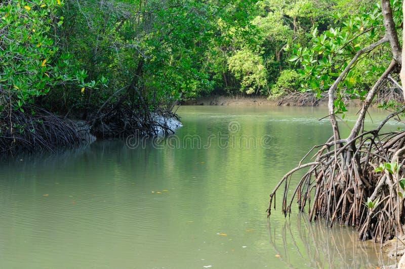 Rivier in Mangrovebos stock afbeelding