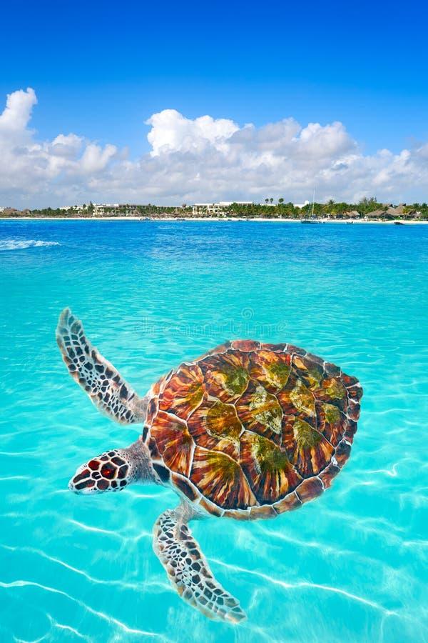 Riviera för photomount för Akumal strandsköldpadda Maya arkivbild
