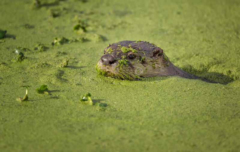 Rivierotter die in Groen Bemost Water zwemmen royalty-vrije stock foto's