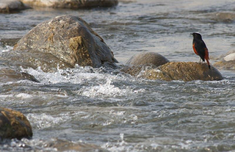 Rivierroodstaart, l'eau-Redstart Blanc-couverte, leu de Chaimarrornis image libre de droits