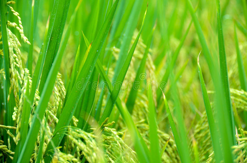 Riz 01 image libre de droits