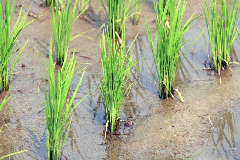 riz photographie stock