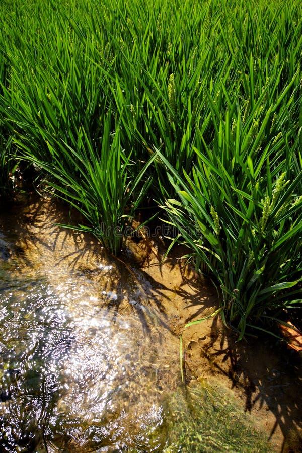 Riz au bord d'une rizière image stock