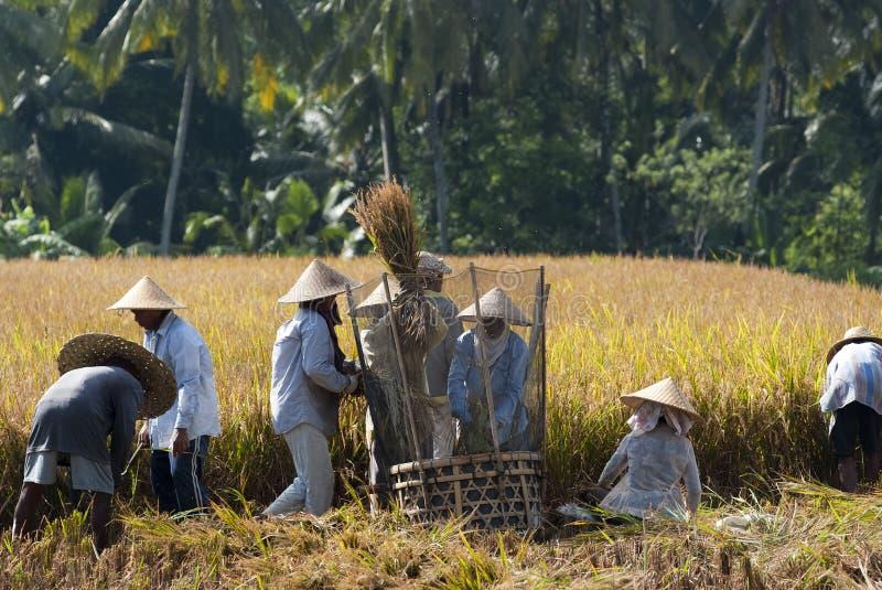 Riz battant dans Bali, Indonésie images stock