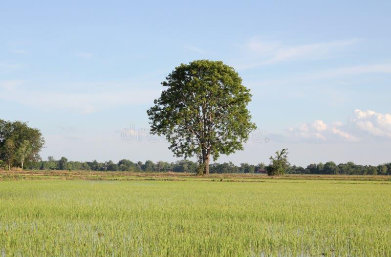Riz classé et arbre photo stock