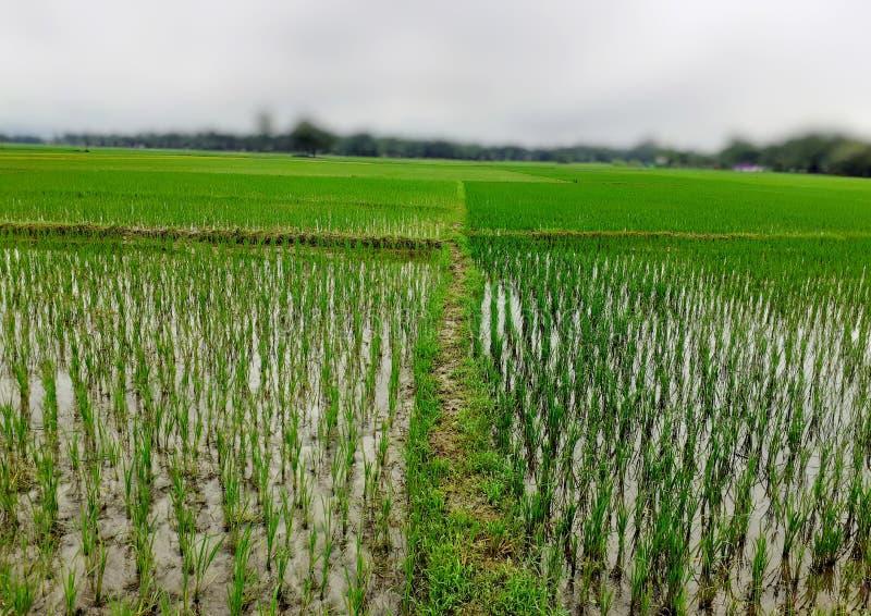 Riz cultivant en Inde Usines de riz vertes dans le domaine Jardin de riz photographie stock