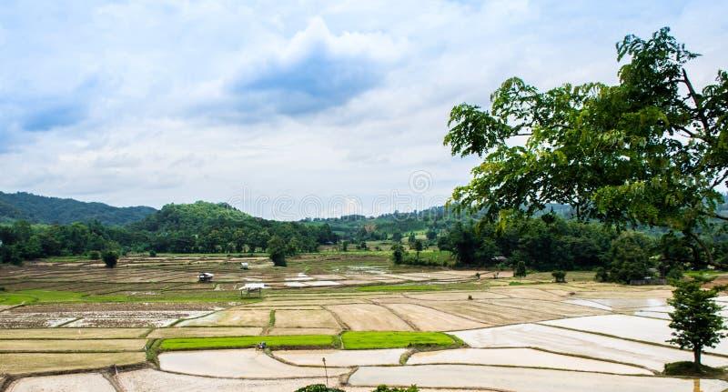 Riz cultivant la campagne de saison photos stock