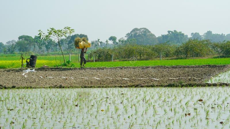 Riz cultivant sur l'agriculture indienne photographie stock