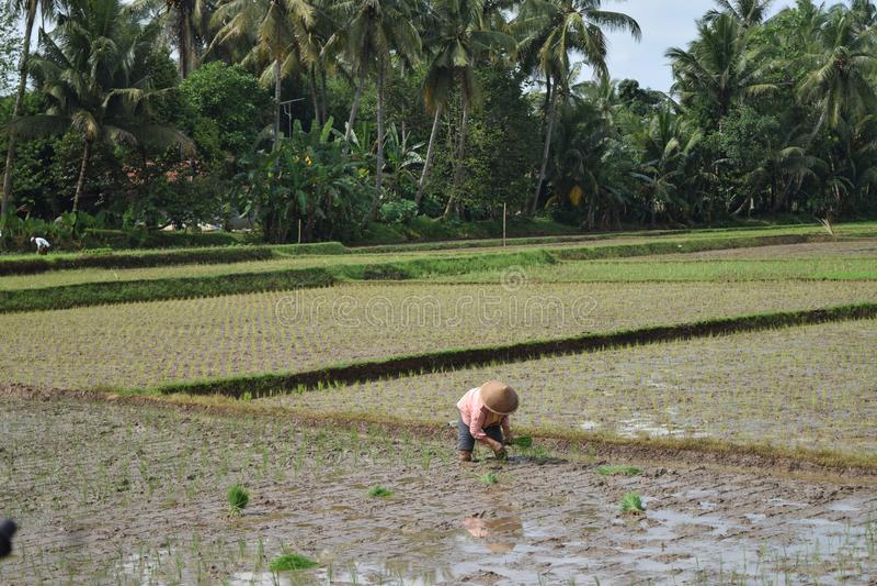Riz d'usine d'agriculteurs dans des rizières photos stock