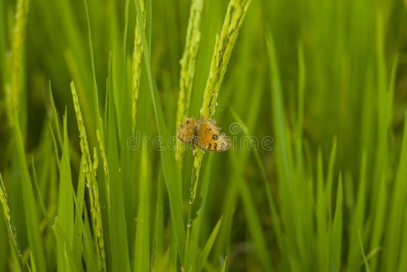 Riz dans le domaine de riz, foyer de s?lection seulement sur quelques points dans l'image image stock