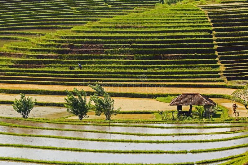 Riz de Bali classé photo stock