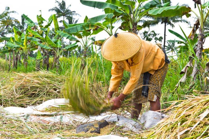 Riz de battage de femme dans la rizière image libre de droits