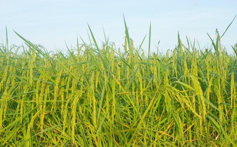riz de jasmin photos stock