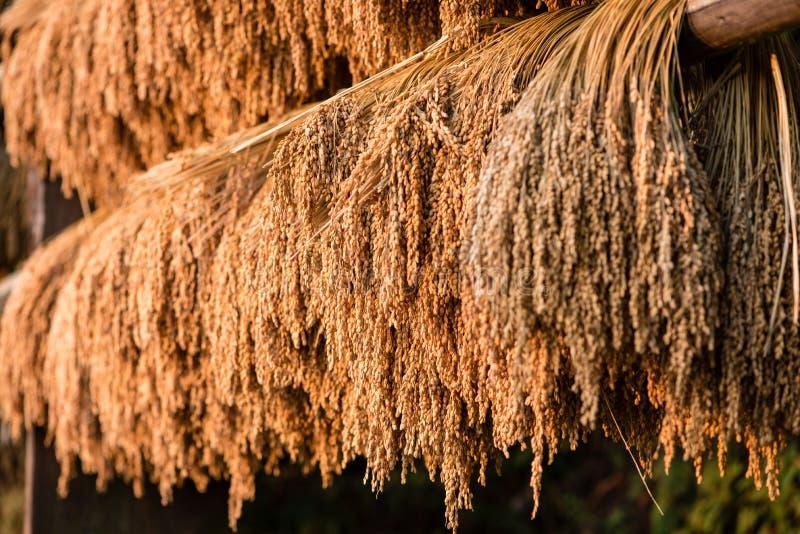 Riz moissonné accroché pour sécher au soleil photo stock
