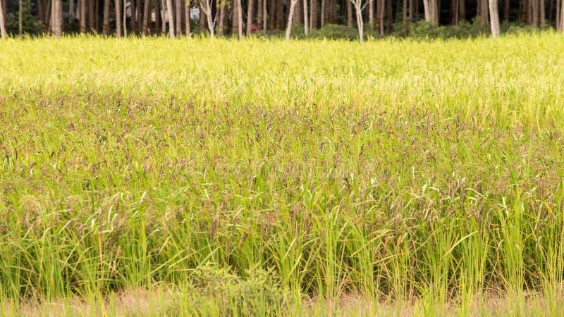 Riz non-décortiqué dans le domaine, Thaïlande, champ vert photos libres de droits