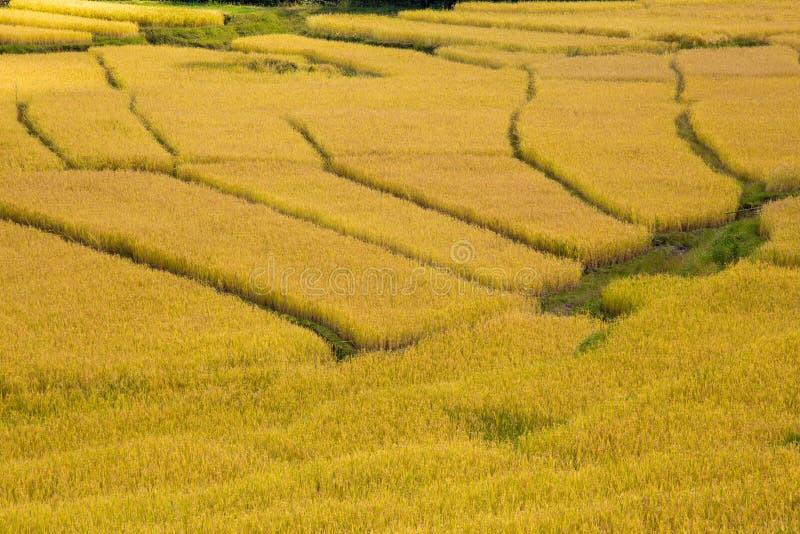 Riz non-décortiqué mûr en Thaïlande photos stock