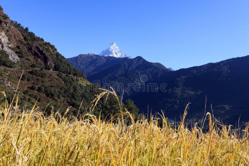 Riz Paddy Field, Népal de terrasse photos stock