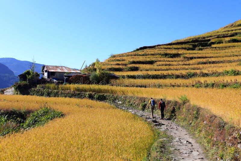 Riz Paddy Field, Népal de terrasse photographie stock libre de droits