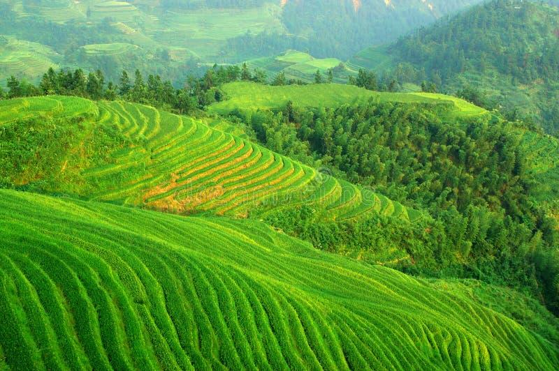 riz vert de zone images libres de droits