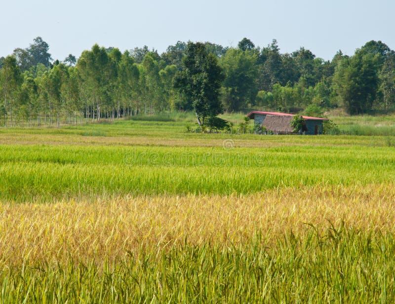 Riz vert et jaune classé avec la hutte image libre de droits