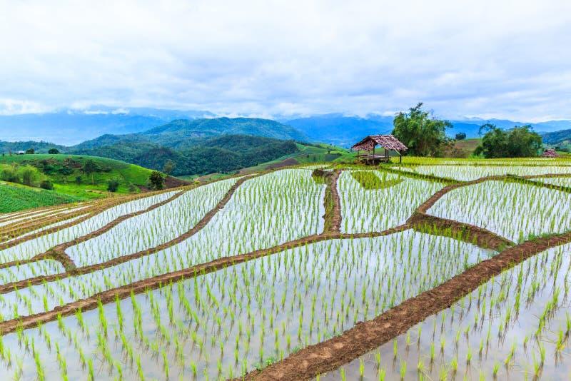 Rizière ou gisement fait un pas de riz image stock