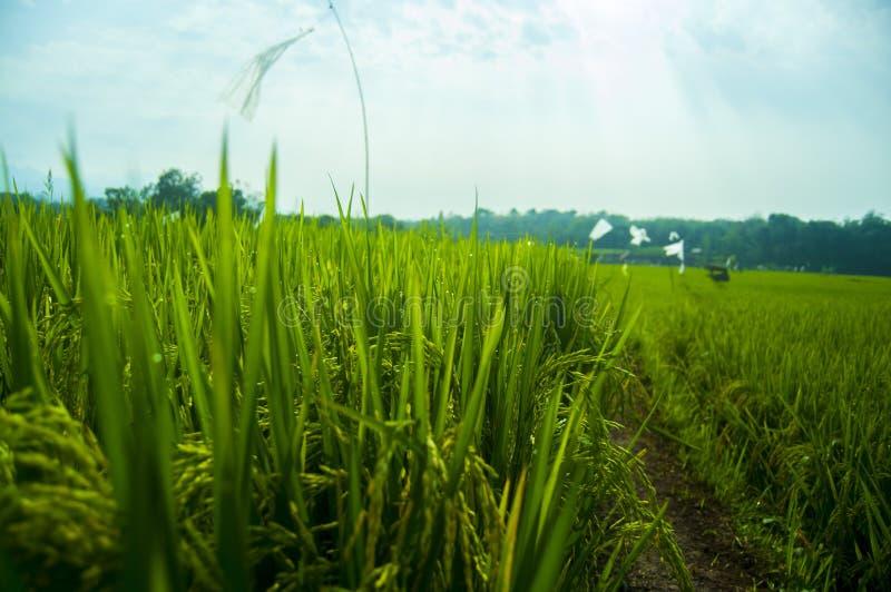 Rizière verte dans le lever de soleil de matin d'été photographie stock libre de droits