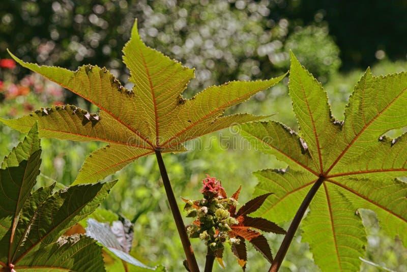 Rizinus mit roten stacheligen Früchten und bunten Blättern stockbilder