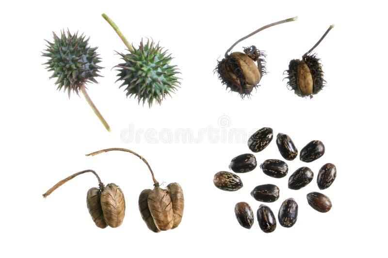 Rizinuspflanze-Ausbreitungsschleife lizenzfreies stockbild