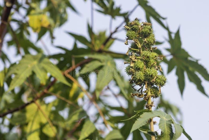 Rizinuspflanze lizenzfreies stockbild